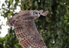 Verreaux`s Eagle Owl in flight royalty free stock photography