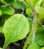 Close-up vers kruid genoemd Gemeenschappelijke weegbree (Plantago belangrijk L ) royalty-vrije stock afbeeldingen