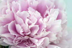 Close-up verse bos van roze pioenen, pioenbloemen Kaart, voor huwelijk Stock Afbeeldingen
