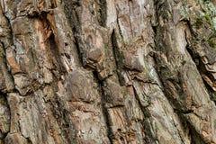 Close-up vertical do projeto da base do teste padrão da árvore velha rústica bege da corrosão do fundo da casca natural fotografia de stock