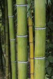 Close-up Vertical of Growing Bamboo Royalty Free Stock Photos