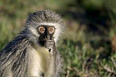 Close up of a Vervet Monkey Royalty Free Stock Photo