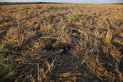 Harvested Summer Field Close Up Royalty Free Stock Image