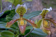 Two Venus slipper orchid flower stock photography