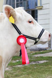 Close up of a very nice young award winner cow Royalty Free Stock Photo