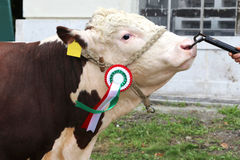 Close up of a very nice young award winner cow Royalty Free Stock Images