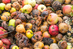 Close-up of very rotten green, yellow and red apples stock images