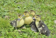 Small ducklings  Royalty Free Stock Images