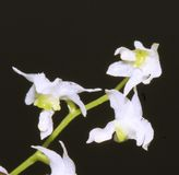 Close up of a very small orchid flower. Macro photo of a very small and beautifull white orchid flower Stock Images