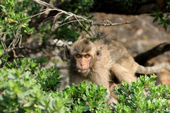 Close-up of a very surprised macaque Royalty Free Stock Image
