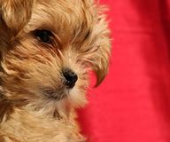 Close up of a very young Yorkie crossed with Maltese pup stock photo