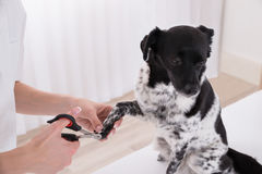 Close-up Of A Vet Cutting Dog`s Toenail. With Nail Clipper Stock Image