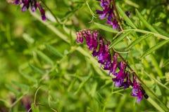 Close up of Vetch Vicia villosa wildflowers, California stock photos