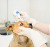 Close up veterinarian dripping drops to the puppy eye in clinic Royalty Free Stock Image