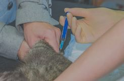 Closeup of a cat, the veterinarian makes an injection Stock Images