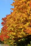Fall colors on Hard Maple trees stock photo