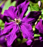 Close up of vibrant climatis plant royalty free stock photos
