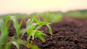A close-up of vibrant green young corn plants, seedlings on dark brown fertile, moist soil. Corn field, warm spring day. Growing corn in an agricultural field stock footage