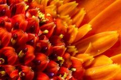 Close up of vibrant orange Chrysanthemum flower head. Vibrant orange Chrysanthemum flower head and petals, close up macro showing pollen Stock Images