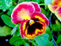 Vibrant pink and yellow pansy flower. Close up of a vibrant pink and yellow pansy flower from Leu Gardens in Orlando, Florida royalty free stock photos