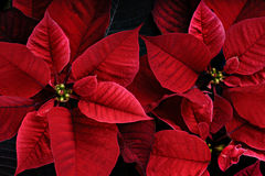 Close Up of Vibrant Poinsettia Plants. A close up of red vibrant poinsettia plants.  The plant is most commonly used for Christmas displays and themes Royalty Free Stock Photos