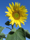 Close up of vibrant sunflower Royalty Free Stock Photography