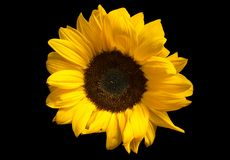 Close-up of vibrant sunflower on pure black background. Studio Photography royalty free stock images