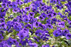 Close Up of Vibrant Violets Blooming in Field Stock Images