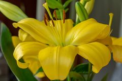 Close up of a vibrant yellow lily flower. Beautiful closeup of a bright yellow lily flower surrounded by green leaves stock photography
