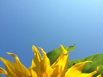 Sunflower in blue sky. Bumble Bee on the leaf. Close up of  vibrant yellow sunflower with bight bee sky in the background.  Bumble bee on a leaf of the Royalty Free Stock Image