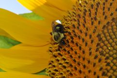 Bright yellow Sunflower with a Bumble Bee having a drink. Royalty Free Stock Photography