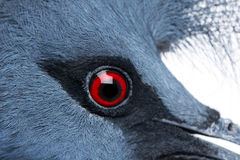 Close-up of Victoria Crowned Pigeon Stock Photography