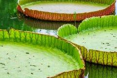 Close-up victoria leaf Stock Photos