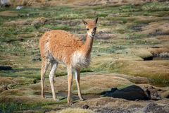 Close up of a vicuna near Las Cuevas, Chile South America. Close up of a vicuna near Las Cuevas, Chile, South America stock image