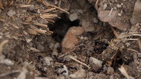 Ants by the ant, ants coming in and out. Close up video of ants by the ant working together in slow motion just in front ant hill stock video