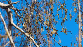 Close-up video of birch burgeons. Swaying in the wind stock footage