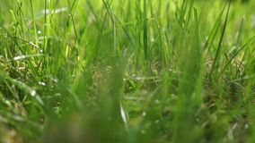 Close-up video of defocused summertime beautiful green grass against the morning sun, with a bokeh background.  stock video footage