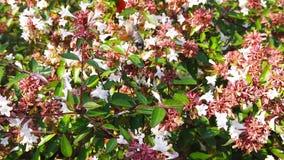 Hummingbird Hawk-Moth on Abelia Flowers 03 Slow Motion