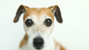Close up video portrait of small cute dog Jack Russell terrier. Smart beautiful eyes. Video footage stock video footage