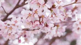 Close up video of sakura cherry blossom stock video footage