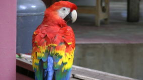 Close up video of Scarlet Macaw. It has suffered from local extinction through habitat destruction and capture for the parrot trad stock video footage