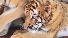 Close up video of tiger baby lying on ground, tired expression, big eyes looking around, beautiful and dangerous animal stock video footage
