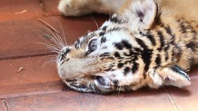 Close up video of tiger baby lying on ground, tired expression, big eyes looking around, beautiful and dangerous animal stock video