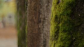 Close-up video of trees with moss standing in central park, ecology and nature. Stock footage stock video