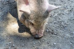 Close-up of a Vietnamese pig with soil in the background. Close-up of a Vietnamese pig while eating on the ground royalty free stock photography