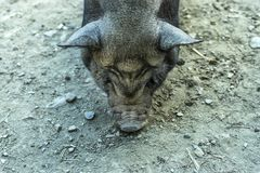 Close-up of a Vietnamese pig with soil in the background. Close-up of a Vietnamese pig while eating on the ground royalty free stock photo