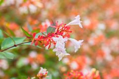 Close up view of Abelia flowers Royalty Free Stock Photography