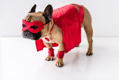 Close-up view of adorable dog in superhero costume standing. On white royalty free stock photography