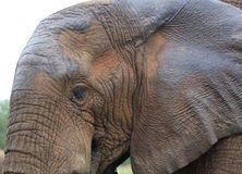 Close up view of an african elephant stock image