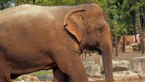 Close-up view of african elephant in zoo stock video